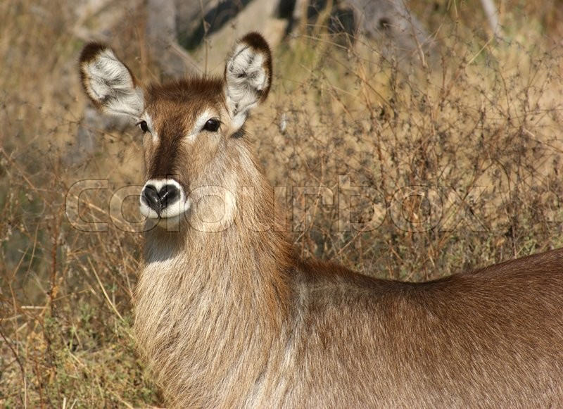 Stock image of 'waterbuck portrait in savanna ambiance in South Africa'