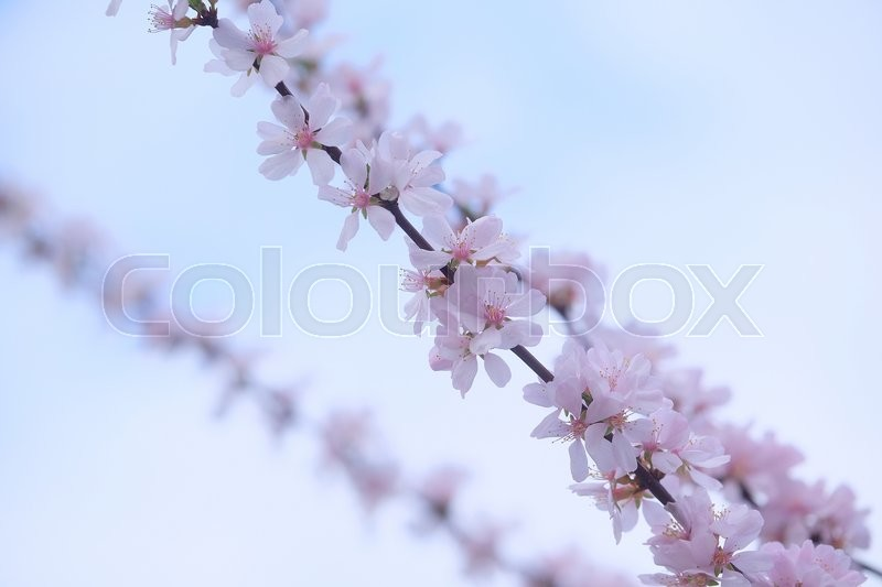 Stock image of 'Background with the image of cherry blossoms'