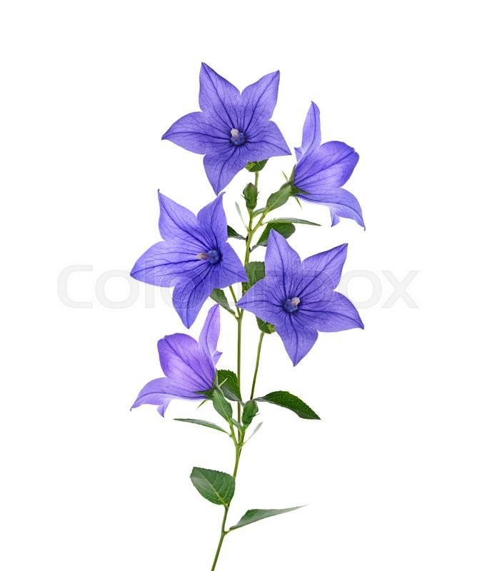 Stock image of 'Blue Bell Flowers Isolated On White Background'