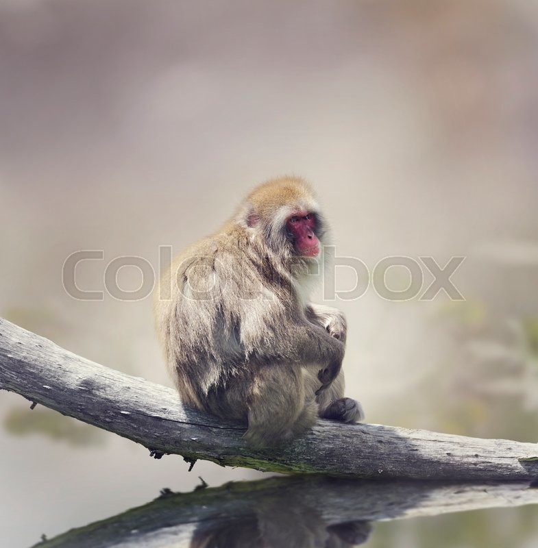 Stock image of 'Japanese Macaque On A Log'