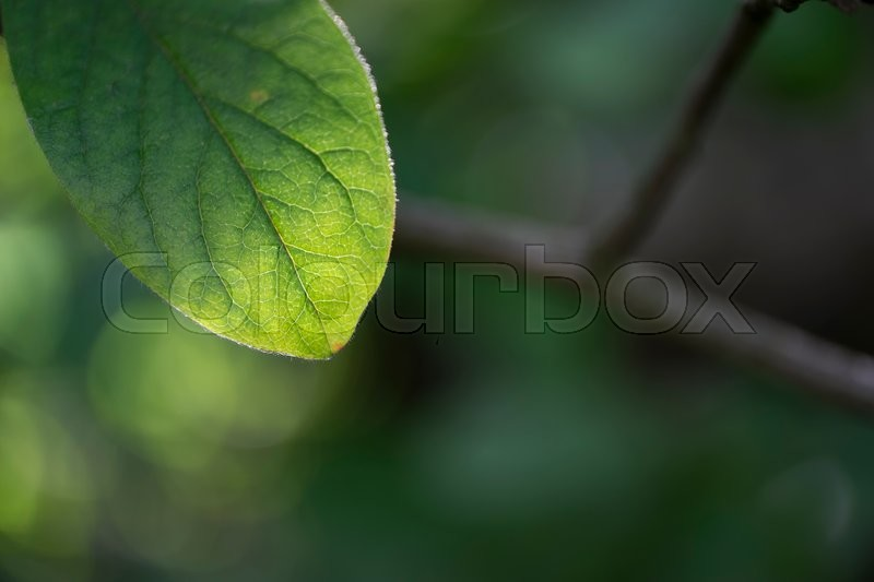 Stock image of 'Leaf of common medlar with blurred background'