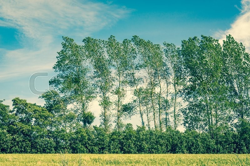 Stock image of 'Tall trees on a fresh green field with blue sky'