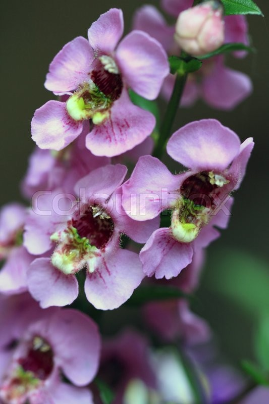 Stock image of 'Angelonia is a genus of about 30 species and among the herbaceous plants'