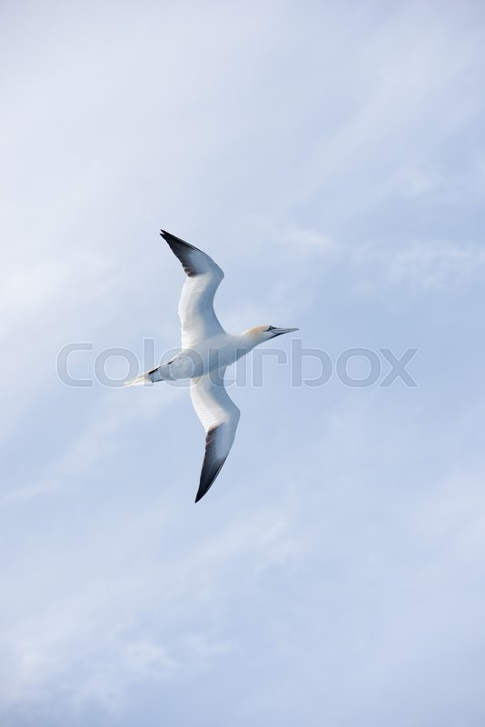 Stock image of 'Northern gannet, Sula bassana, in flight seen from below in front of a blue sky'