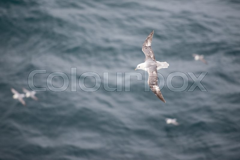 Stock image of 'A flock of Northern fulmars, Fulmarus glacialis, flying over water'
