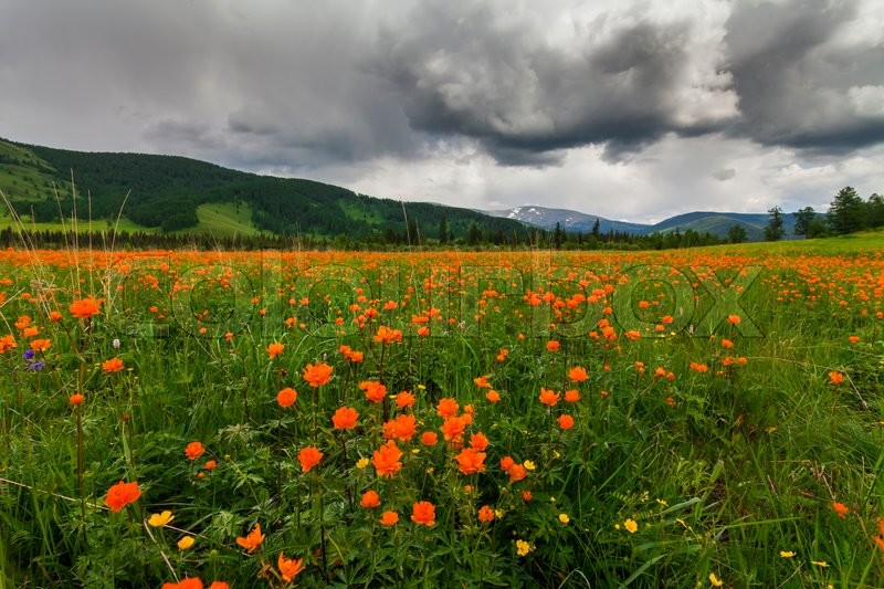 Stock image of 'Amazing views of the flowery meadow on background of the mountains. Orange Globeflowers.'
