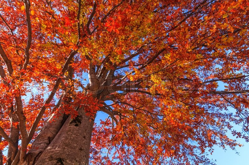 Stock image of 'Autumn tree on a background of blue sky'