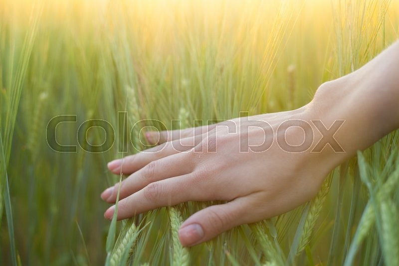Stock image of 'close up of a woman's hand touching green wheat ears'