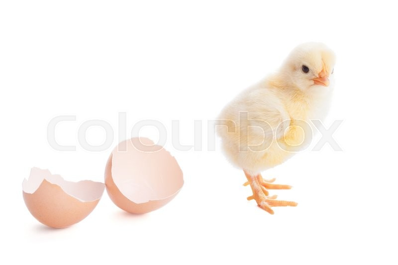 Stock image of 'beautiful little chick  and eggshell isolated on the white'