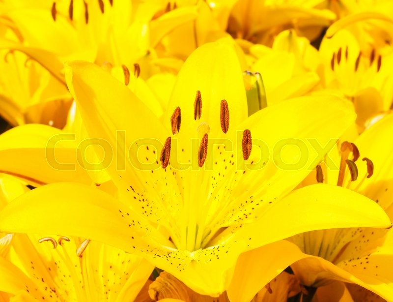 Stock image of 'Closeup of beautiful bouquet of yellow lilies'