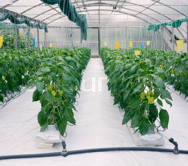 Stock image of 'Greenhouse Cultivation of Green Peppers'