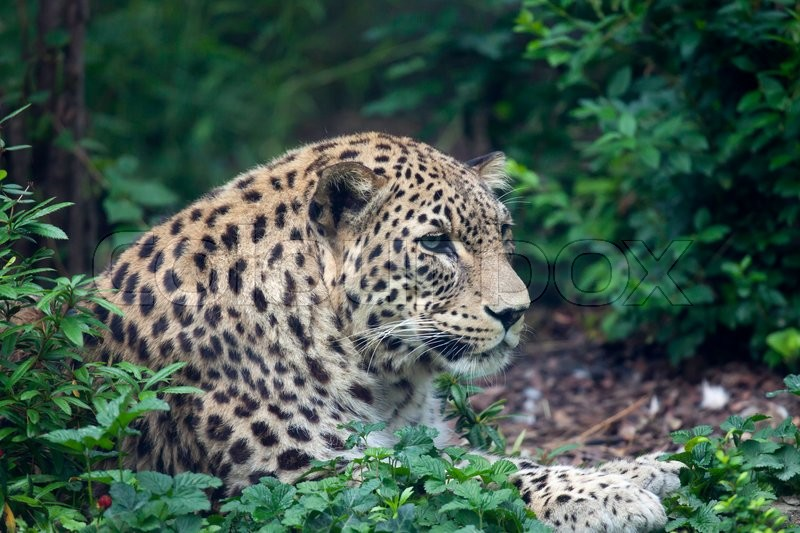 Stock image of 'view of a leopard relaxing in the forest'