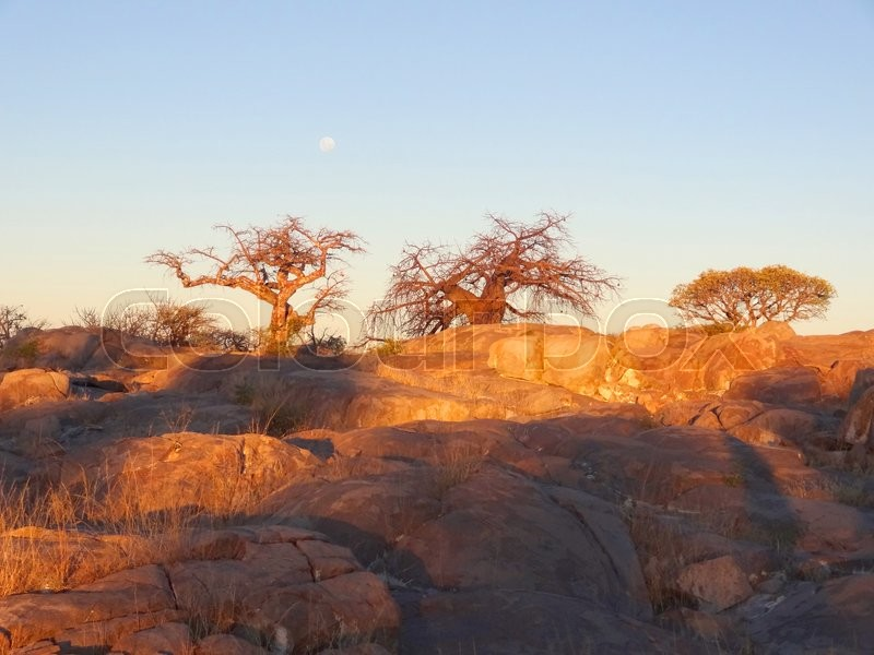Stock image of 'evening scenery with baobab tree in the Makgadikgadi Pan area of Botswana, Africa'
