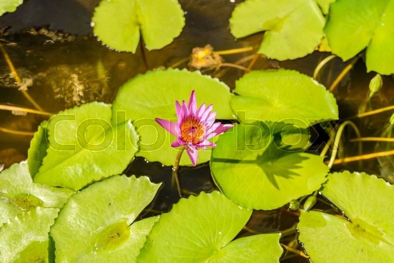 Stock image of 'Pink lotus blossoms or water lily flowers blooming'
