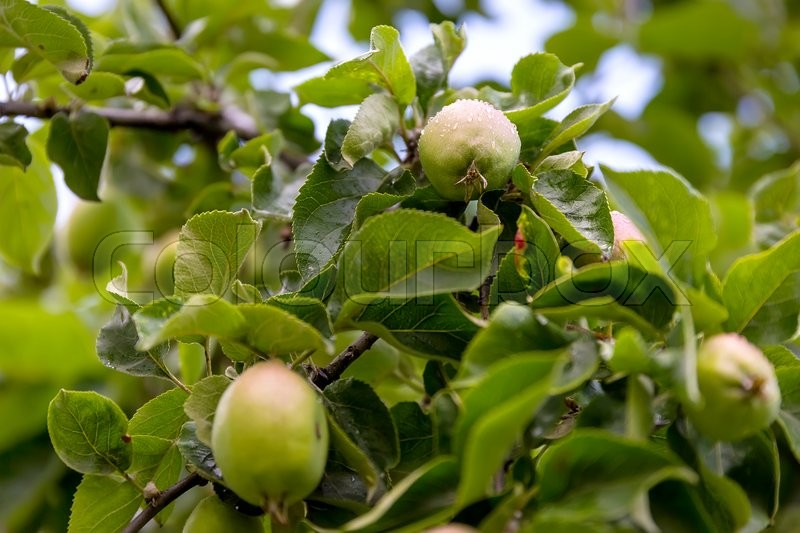 Stock image of 'Ripening apples on tree branches'