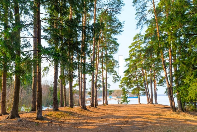 Stock image of 'High evergreen pine trees near a lake in the spring'