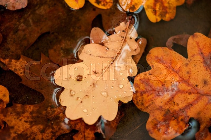 Stock image of 'Fallen oak leaves in a puddle closeup'