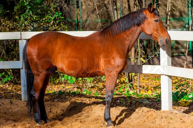 Stock image of 'Beautiful well-groomed stallion near white wooden fence'