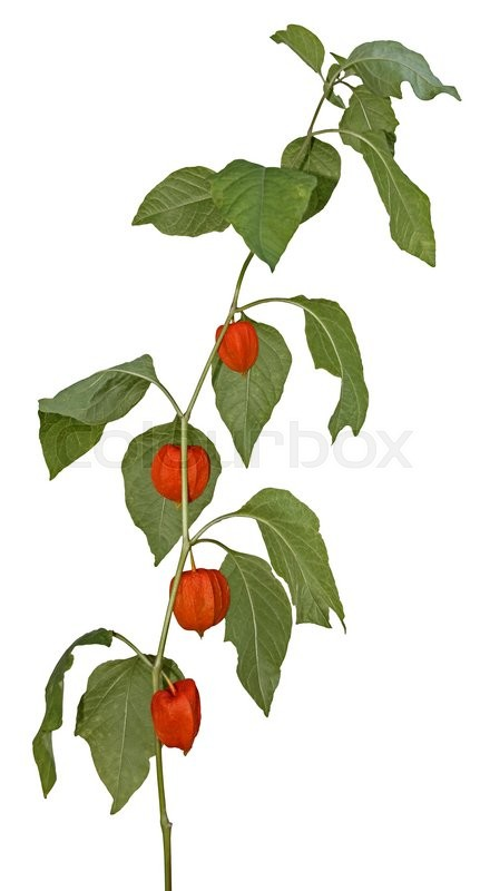 Stock image of 'Young plant Physalis peruviana isolated on white background14069503