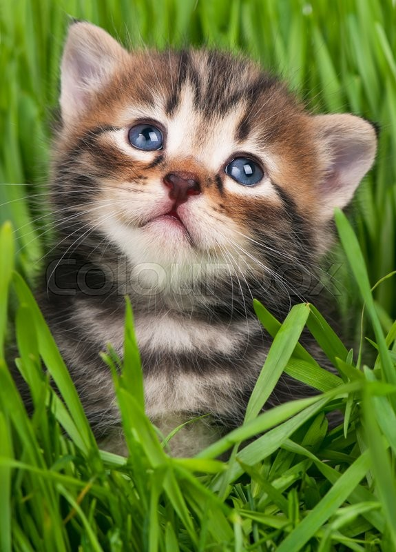 Stock image of 'Cute siberian kitten over bright green grass background'