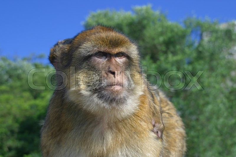 Stock image of 'Mother monkey with a cub on the back carefully observed around'