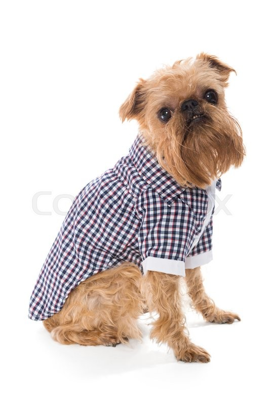 Stock image of 'Dog breed Brussels Griffon in checkered shirt, side view, isolated on white'