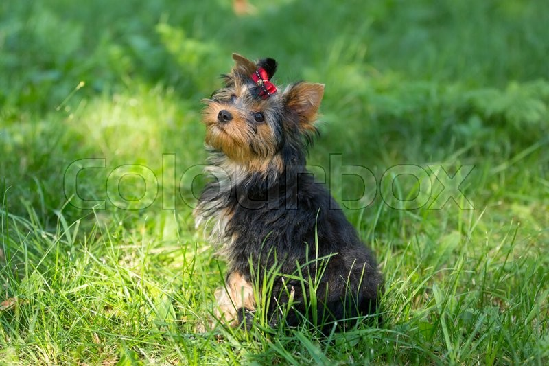 Stock image of 'Puppy Yorkshire Terrier walking in the Park on green grass'