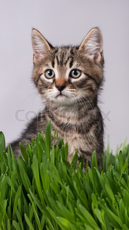 Stock image of 'Cute little kitten in the bright green grass over grey background'