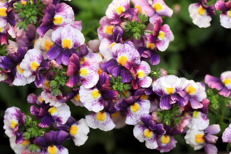 Stock image of 'Close up of Colorful Nemesia Strumosa flowers'