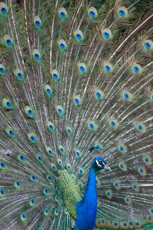 Stock image of 'Portrait of beautiful peacock with feathers out'