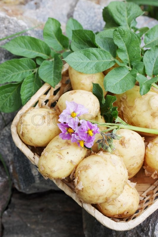 Stock image of 'Clooney young potatoes with a potato flower'