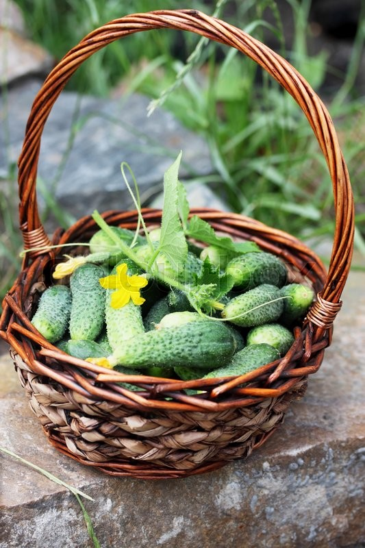 Stock image of 'Small fresh cucumbers in a wicker basket'