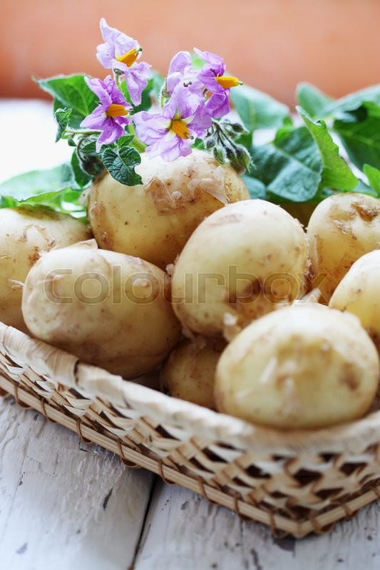 Stock image of ' Clooney young potatoes with a potato flower'