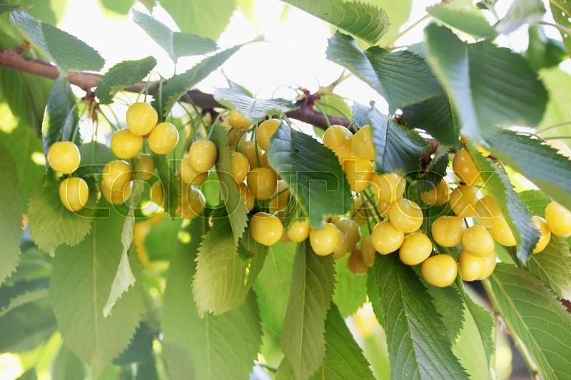 Stock image of 'harvest of ripe juicy yellow cherries on a branch'