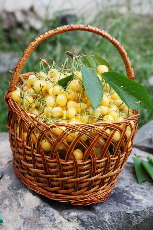 Stock image of 'yellow sweet cherries in a large wicker basket'