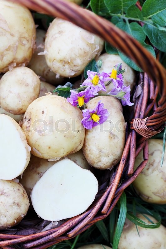 Stock image of 'tubers young potatoes with a potato flower'
