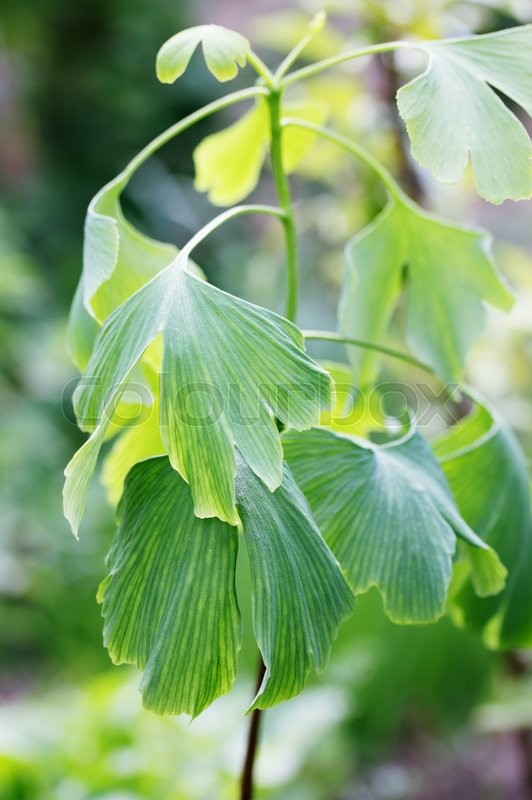 Stock image of 'Young sprout of ginkgo biloba with big leaves'