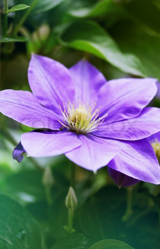 Stock image of 'Beautiful, large purple clematis flower in the garden'