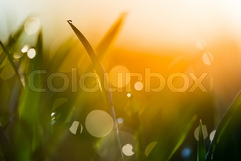 Stock image of 'Water drop on the top of grass leaf in the orange sunrise light'