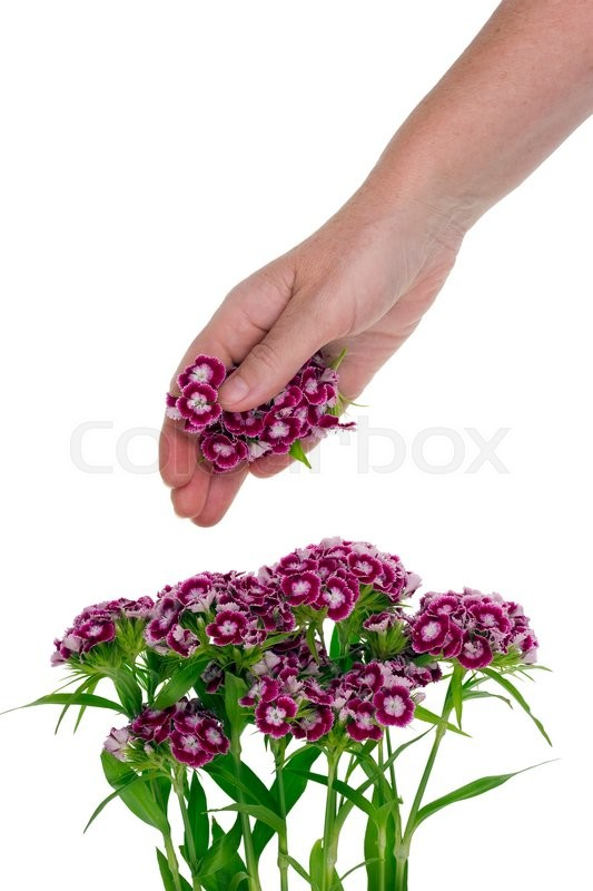 Stock image of 'Hand of the rural worker pick spice flowers of garden carnation  for processing. Isolated studio shot'