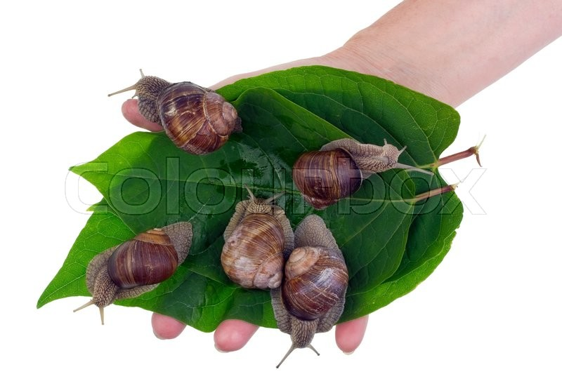 Stock image of 'Cultivation of edible delicious big snails. Green leaves with snails  in a hand of the rural worker.Isolated studio shot concept.'