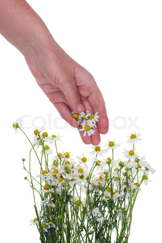 Stock image of 'Hands of the rural worker pick flowers of a medical wild camomile daisies  for processing in oil and tincture. Isolated studio shot'