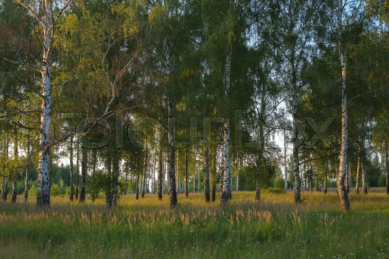 Stock image of 'Evening in the Russian countryside, birch forest'