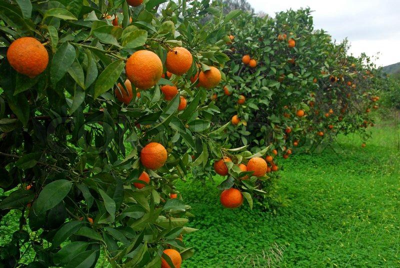 Orange plantation in Portugal | Stock Photo | Colourbox