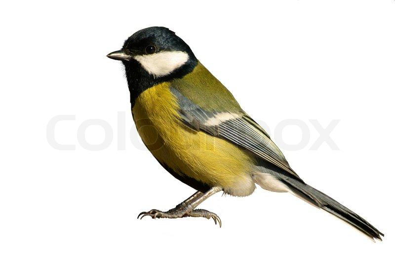 gelbe meise vogel isoliert auf wei em hintergrund. Black Bedroom Furniture Sets. Home Design Ideas