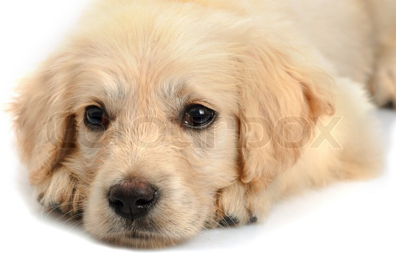 Golden Retriever Puppy S Snout Close Up Stock Photo Colourbox