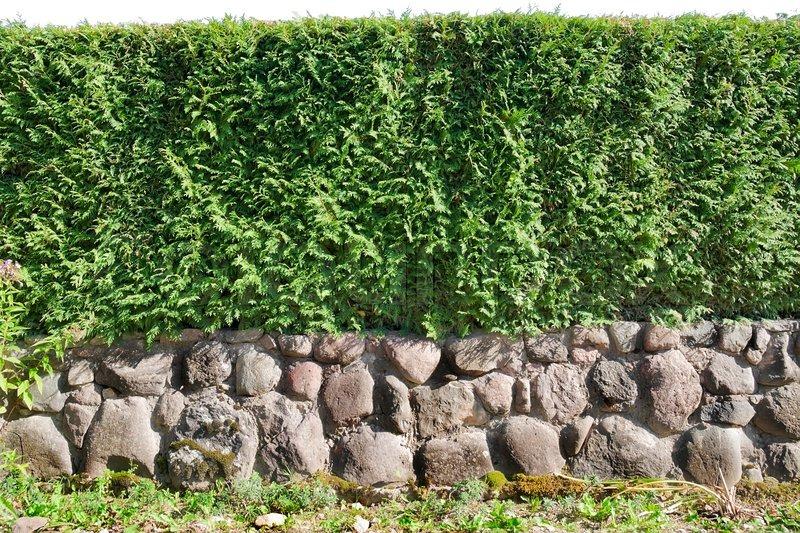 Fragmente einer ländlichen zaun hecke aus immergrünen pflanzen ...