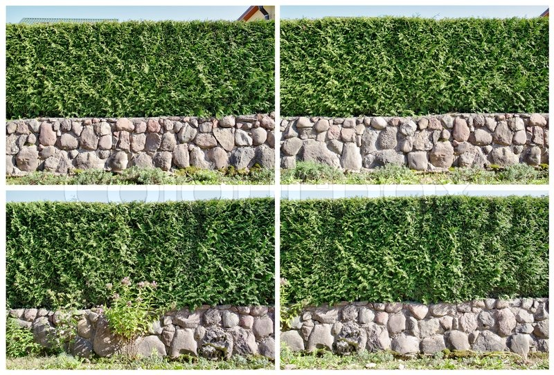 four fragments of a rural fence hedge from evergreen plants the
