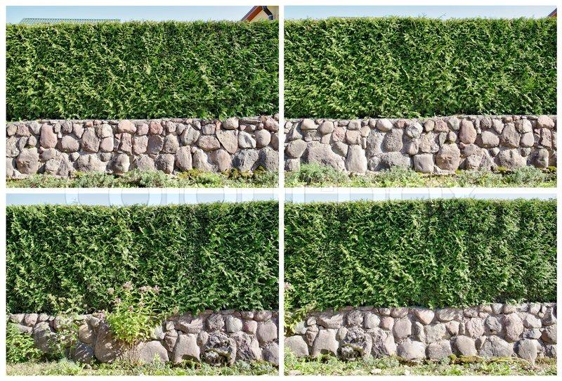 vier fragmente einer l ndlichen zaun hecke aus immergr nen pflanzen die thuja stock foto. Black Bedroom Furniture Sets. Home Design Ideas