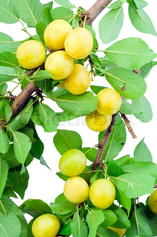 Background From Wild Yellow Plums On Branches Stock